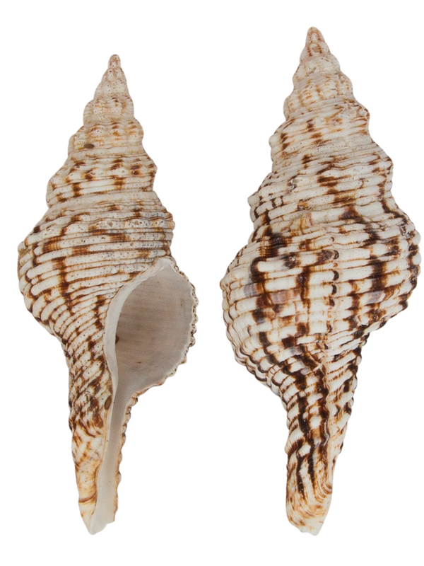 Fusinus Nicobaricus