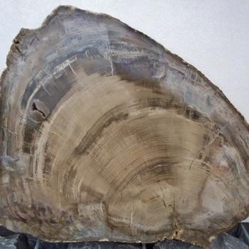 Versteend hout XL