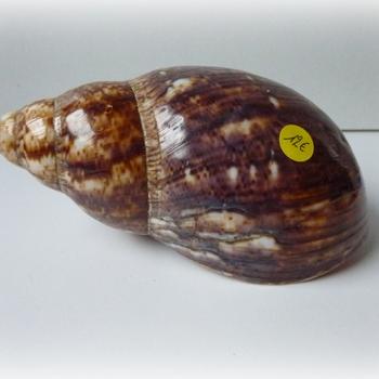 Achatina - achatina