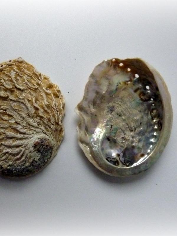 Kleine Abelone schelpen