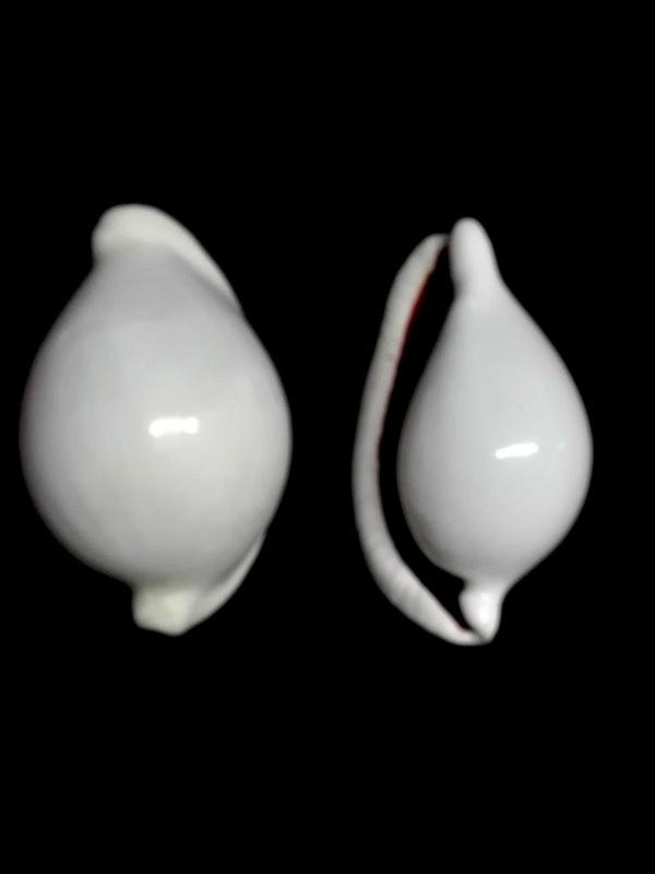 Ovula ovum