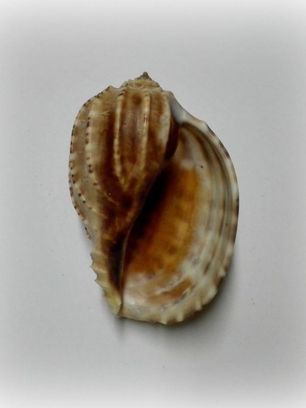 Harpa articularis