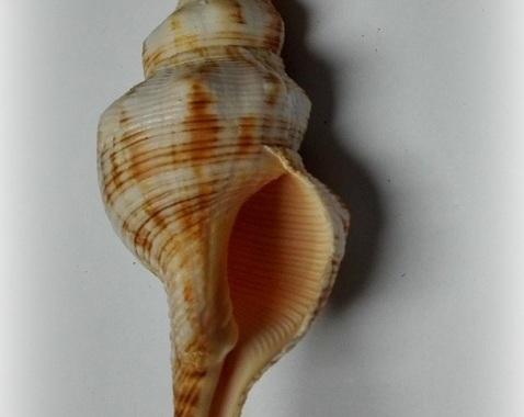 Filifusus filamentosus