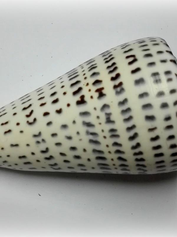 Conus leopardus