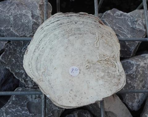 Placuna ephippium