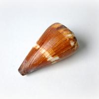 Conus Vexillum (MOMENTEEL NIET IN VOORRAAD)!