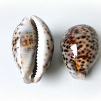 Cypraea Tegris / Tiger Cowrie